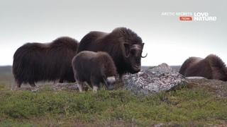 «Тайны Арктики (1). Край суровой природы» (Познавательный, природа, животные, 2015)