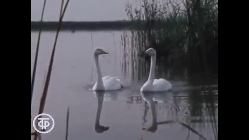 Документальный фильм Лебедь белая плывет 1983 год