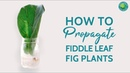 How to Propagate a Fiddle Leaf Fig Plant