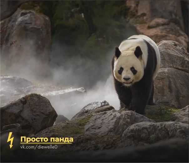Просто панда гуляет. И ты погуляй, чего дома-то сидеть ^_^