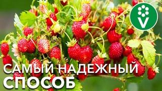 Выращивание ЗЕМЛЯНИКИ ИЗ СЕМЯН. Отличный урожай в год посева!