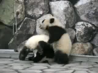 Панды борцухи=)