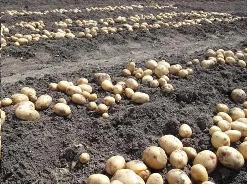 Что я высаживаю после сбора картошки, чтобы значительно увеличить урожай следующего года