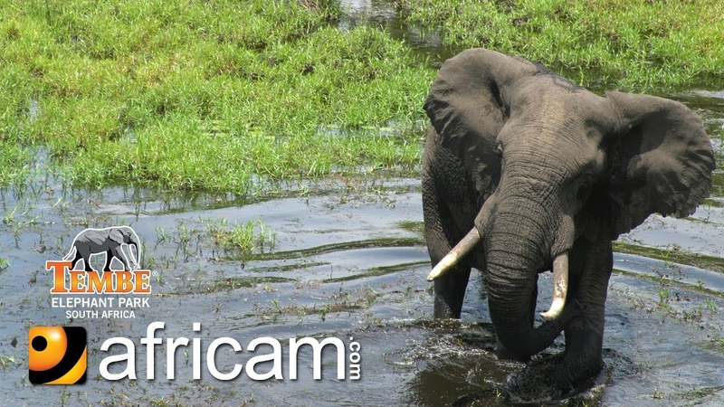 Africam - Tembe Live Wildlife Channel