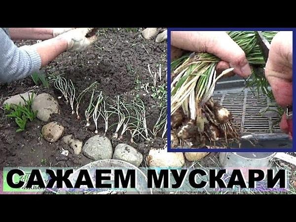 Мускари Мышыный гиацинт как сажать весной