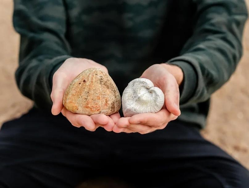 Морской ёж и двустворчатый моллюск. Верхний мел