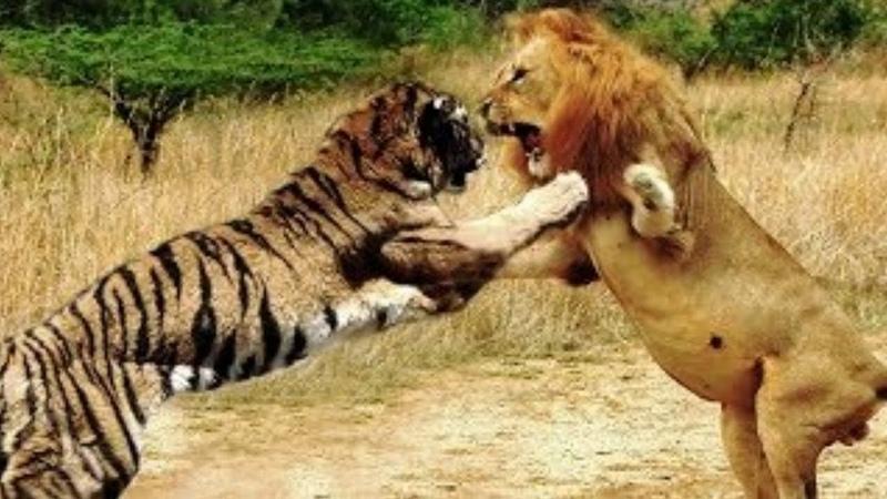 Лев против Тигра Кто Сильнее Реальные Кадры Схваток