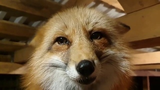 Ли Сяо. Алиса - Лиса / Прикольные Моменты с Алисой ч. 43 / Alice the Fox