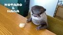 カワウソコタローとハナ ホタテの食べ方に個性が出る2人 Otter Kotaro Hana Good Tabl