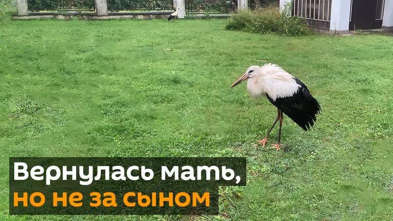 Пенсионер приручил аиста как живет птица которую спас человек