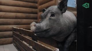 СИМВОЛ ГОДА: как живут мини-пиги в Петербурге