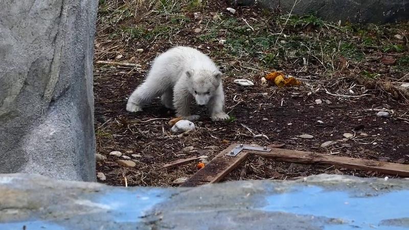 Die ersten Schritte. Baby Eisbär im Zoo Schönbrunn Tiergarten Polarbär Junges (Ursus maritimus) fz82