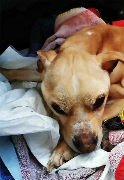 В Бельгии мужчина связал свою собаку, оставил её без еды и воды, а сам уехал из квартиры О несчастном питомце сообщили соседи живодёра, которые услышали скулёж.Волонтёры были в шоке, когда