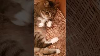 Кот Тигрик лежит в корзине и играет с веревкой