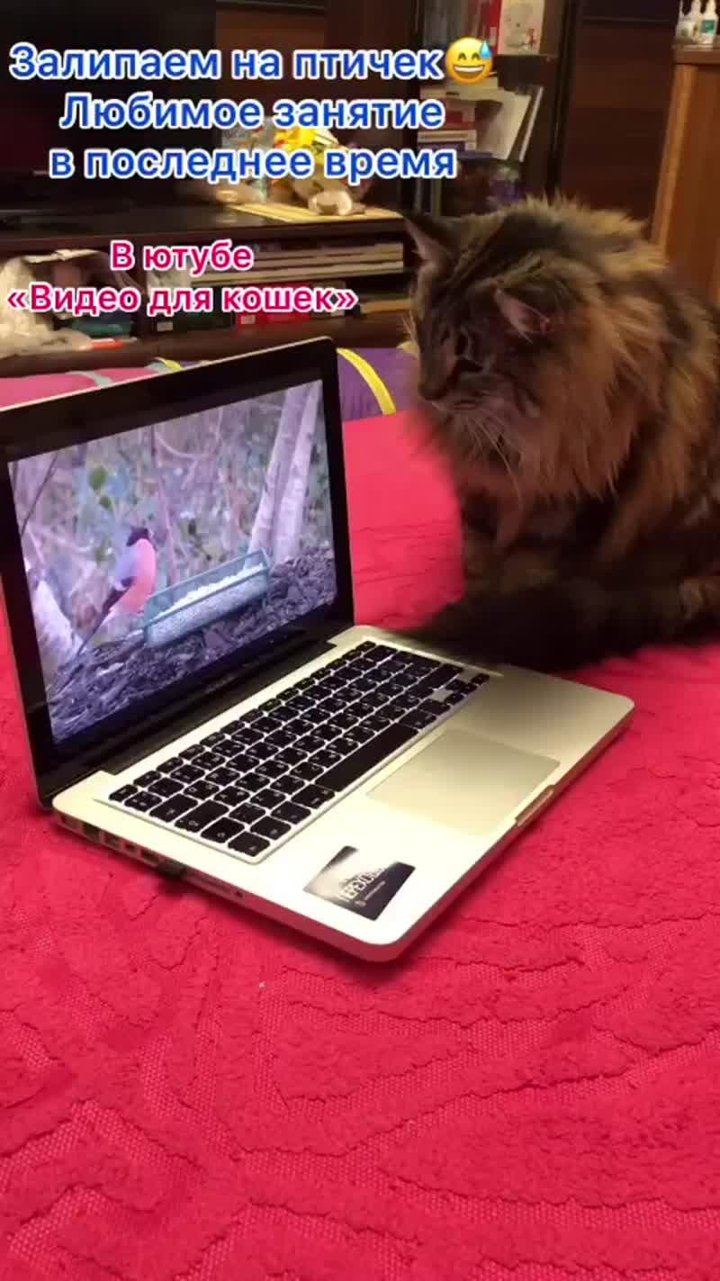 Норвежская лесная кошка Пантера, видео для кошек, fashionpeak.ru