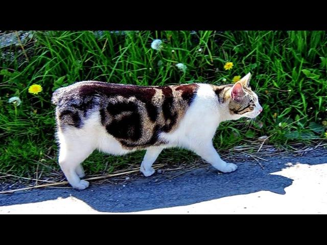 Порода кошек Мэнкс Мэнская бесхвостая кошка Красивая кошка с очаровательными глазами
