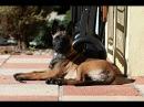 Orina Belgian Shepherd malinois puppy