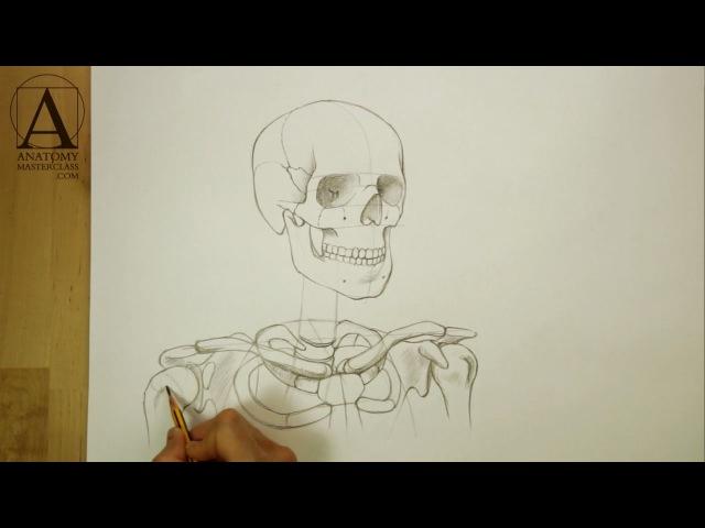 Head, Neck and Shoulders Skeletal Anatomy - Anatomy Master Class
