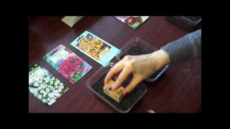 Посев многолетних цветов. Очиток, Алиссум, Рудбекия, Пиретрум. Часть 1
