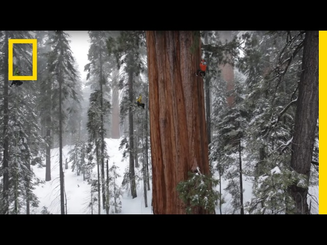 Magnificent Giant Tree Sequoia in a Snowstorm National Geographic