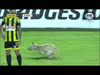 El perro ms feliz del mundo, invade partido entre deportivo tachira vs pumas