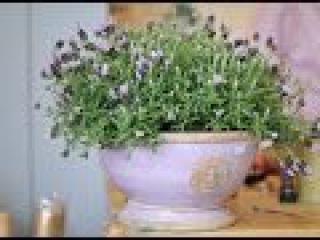 Лаванда. Секреты выращивания в домашних условиях