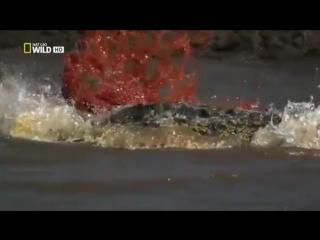The nile crocodile, нильский крокодил