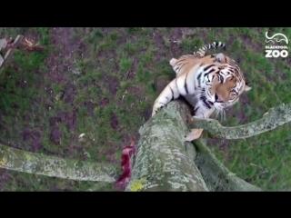 Тигрики, дерево, камера, и мясо