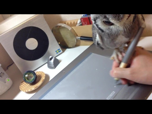 Northern White-faced Owl 'Helps' Guy Draw on Tablet · coub, коуб