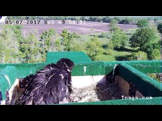 KC Eagle Cam, Parent Circles But Does Not Land, 050717