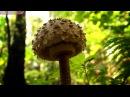 Гриб зонтик пестрый лесной деликатес