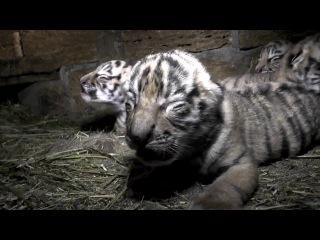 Сразу четыре амурских тигрёнка родились в Крыму