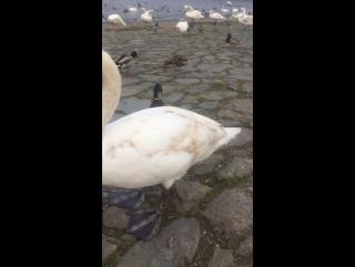Кормим наглых лебедей и уток