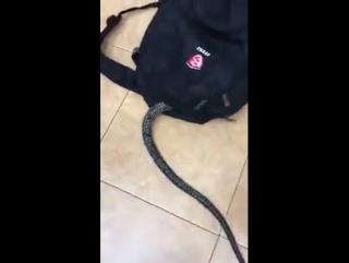 Змея залезла моему другу в рюкзак(