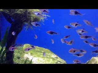 АКВАРИУМ  РАСБОРА. Стайные аквариумные рыбки.  Animals & fish.