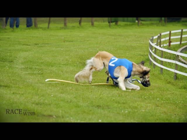 Race the Wind 41 - Greyhound Track (Osnabrück/Germany) • Saluki Levrier Carreras السلوقي كلب الصيد