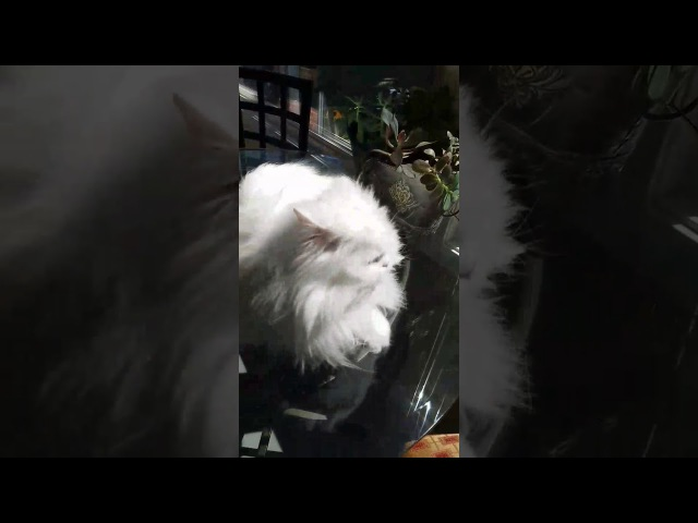 Deaf kitty excited to see owner for 3 years
