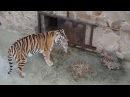 Тигрица собирает разбежавшихся малышей