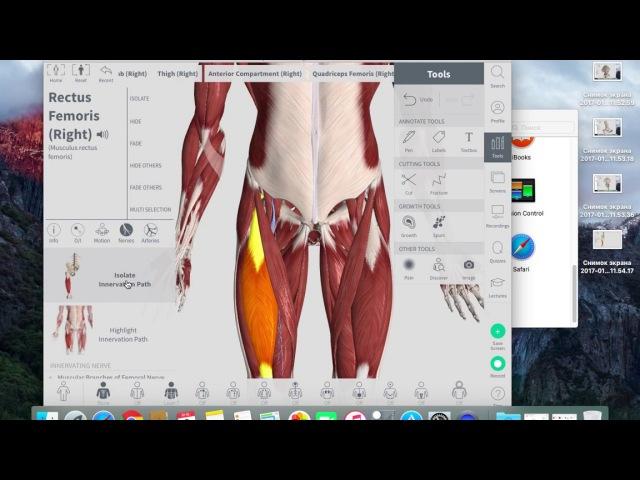 3d анатомия Прямая мышца бедра Rectus Femoris Первое знакомство