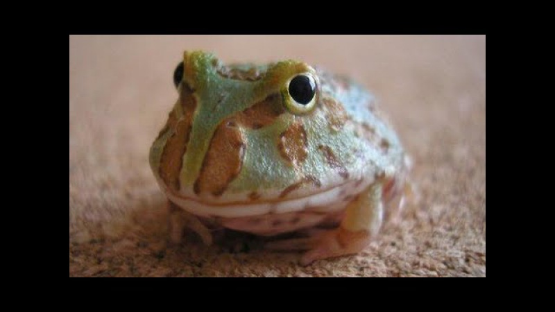 Ultimate CUTE and FUNNY Pet FROGS Best Toads and Frogs Videos Vines Compilation 2017