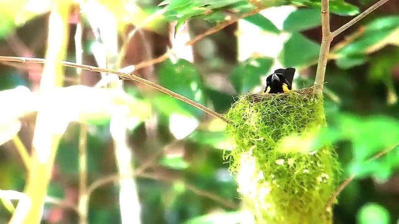Spectacled monarch Очковый монарх Monarcha trivirgatus Symposiachrus trivirgatus