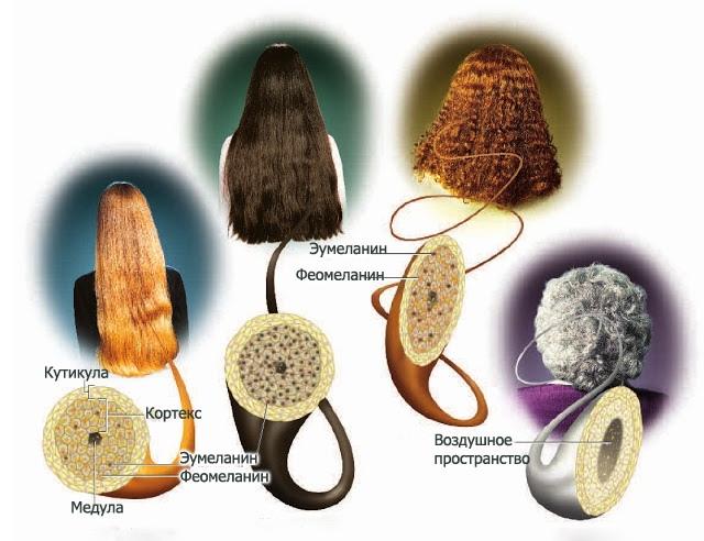 из чего состоит волос