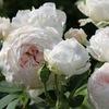 Розы от Татьяны - саженцы роз почтой