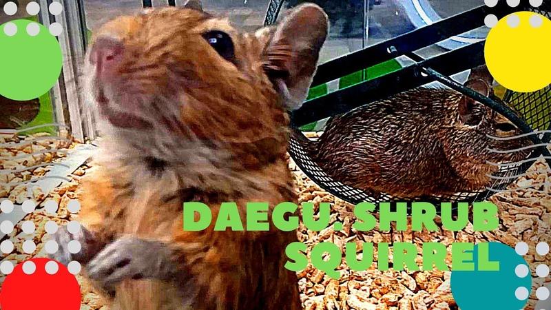 Дегу Кустарниковая белка Домашние животные Daegu Shrub squirrel Pets पालतू जानवर ペット 寵物用品 ziminvideo