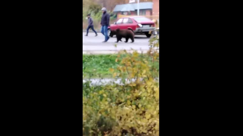 По Веневу гулял медведь