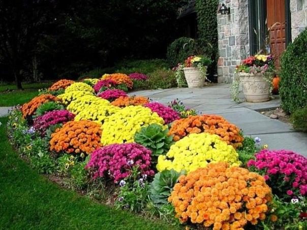 Хризантема в саду