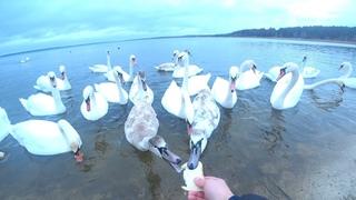 Кормлю лебедей с рук зимой на водохранилище ХАЕС г.Острог