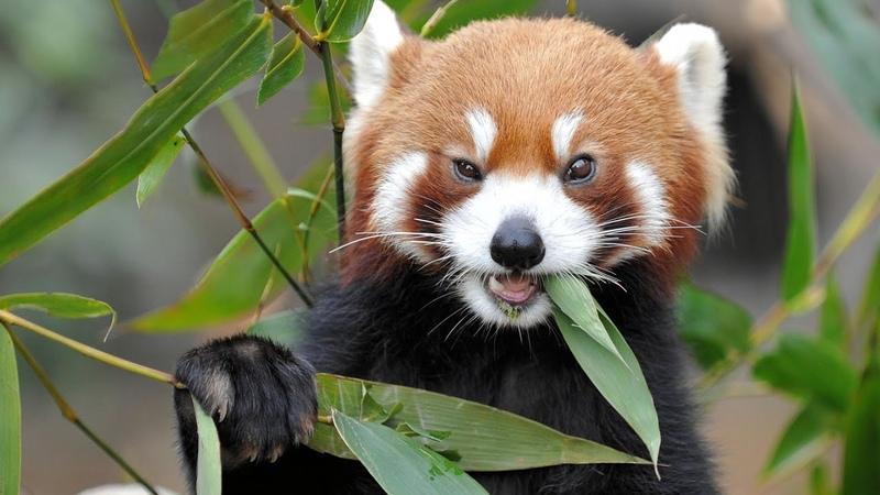 Я малая панда