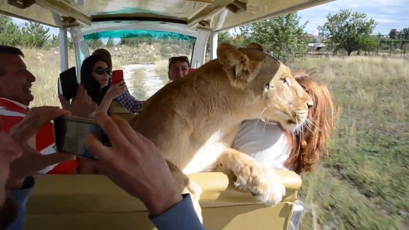 СМОТРЕТЬ ВСЕМ В Тайгане львица Лола катается с туристами в автомобиле по Саванне