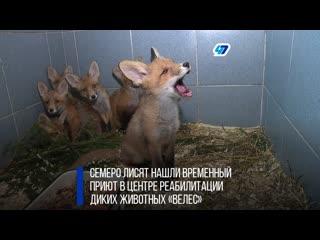 В центре диких животных Велес выхаживают оставшихся без матери лисят